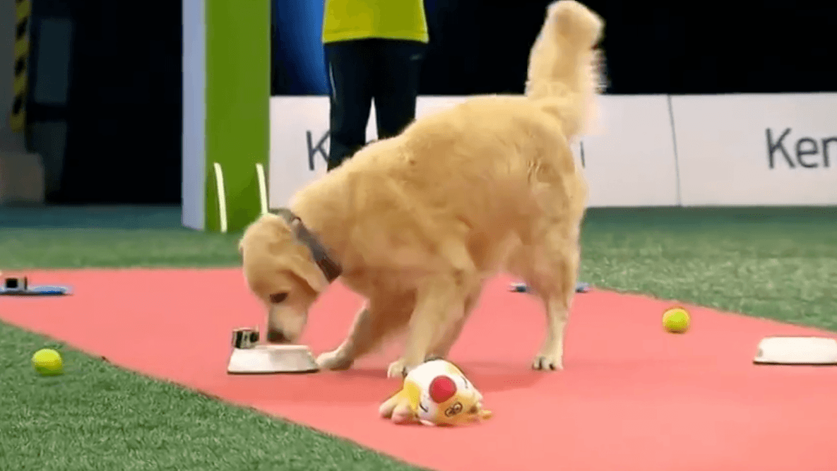 Golden Retriever Dog Training Video Fail