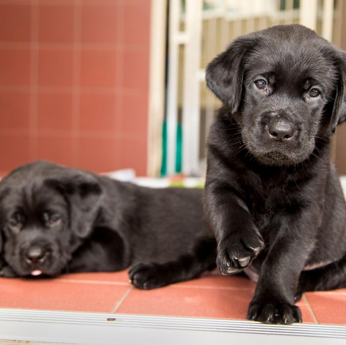 We know where you can cuddle Guide Dog puppies