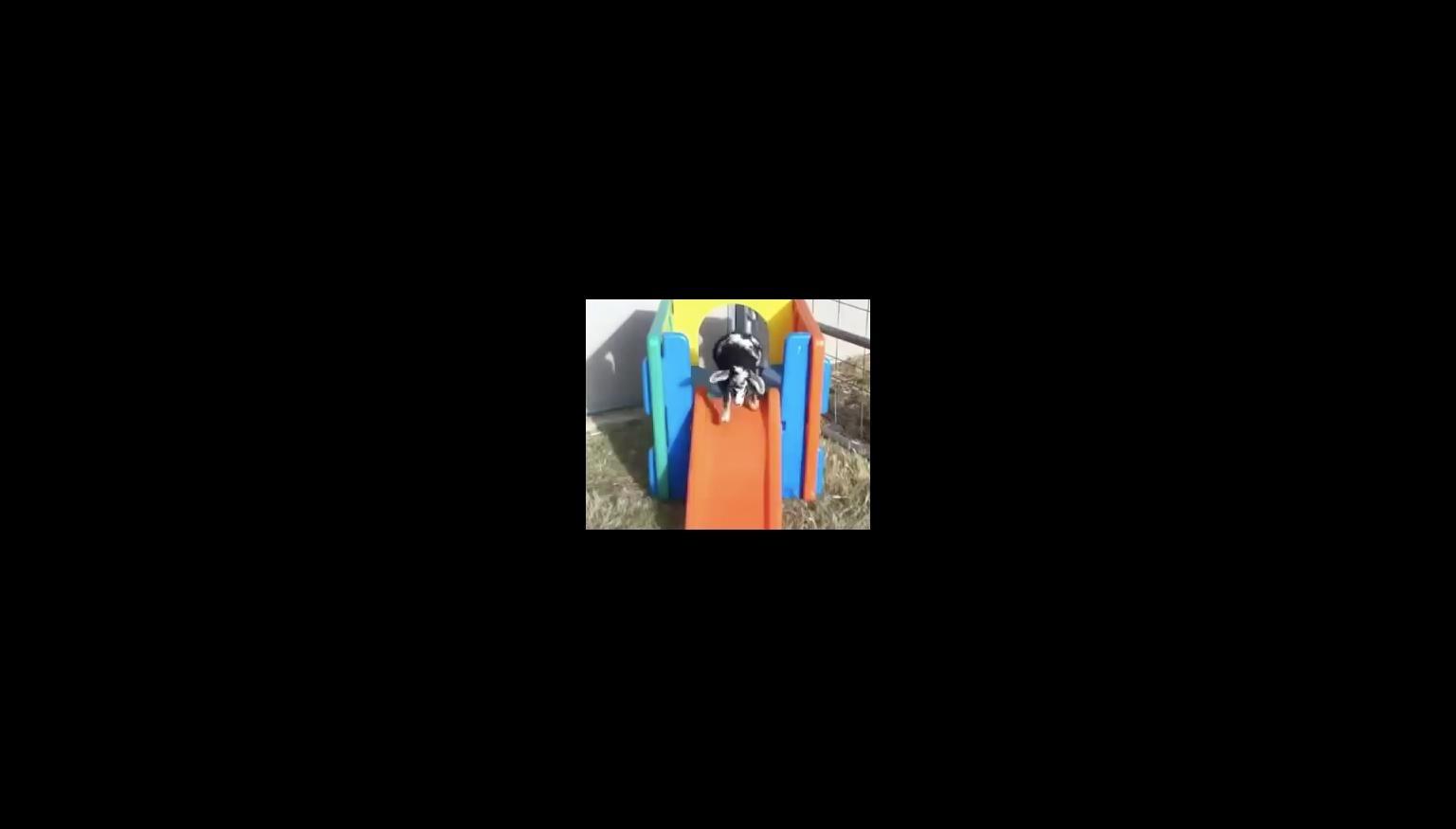 Baby goat faints going down backyard slide